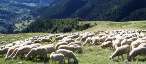 Pecore a Roma per falciare l'erba