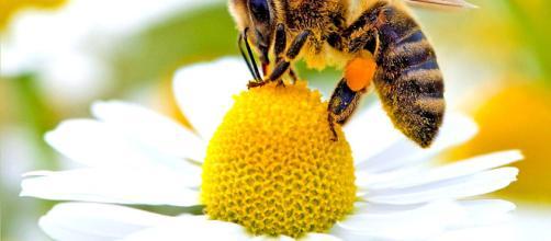 Un esemplare di ape nell'atto dell'impollinazione