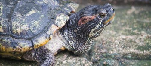 tartaruga orecchie rosse — Foto Stock © satit_srihin #32225175 - depositphotos.com
