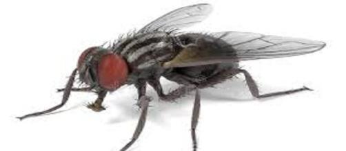 Su vida puede durar de 15 a 25 días, como mosca adulta.