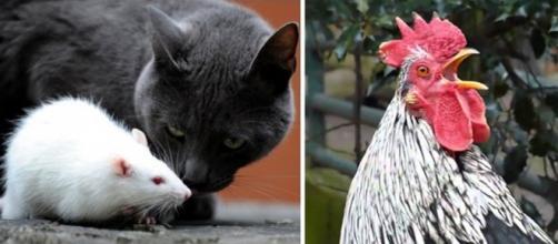 Talvez o gato não goste muito da carne de ratos, e o galo gosta de cantar pela manhã por algum motivo. O mundo animal é uma caixa de surpresas