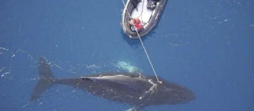 Balleneros japoneses asesinaron a 333 ballenas y algunas estaban preñadas