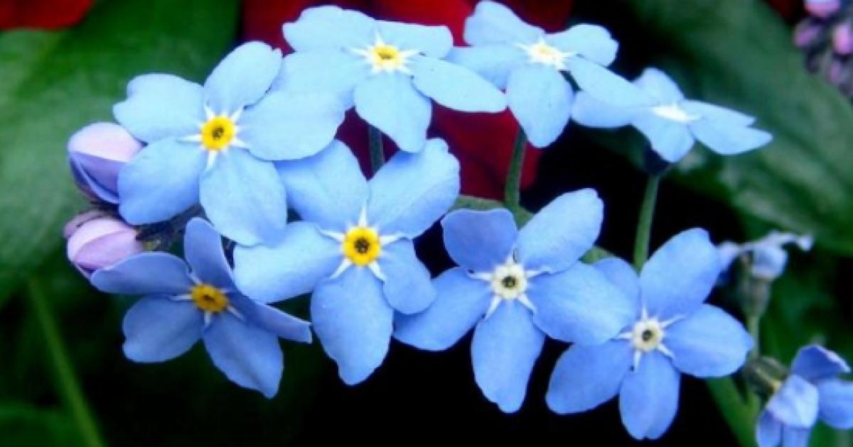 La Flor Miosotis Conocida Tambien Como No Me Olvides Y Su Origen