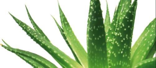 Aloe vera pode prevenir e curar várias enfermidades.