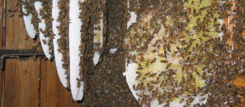 Un essaim d'abeilles niché entre volets et fenêtre au Château de la Faurie à Saint-Alban-d'Ay