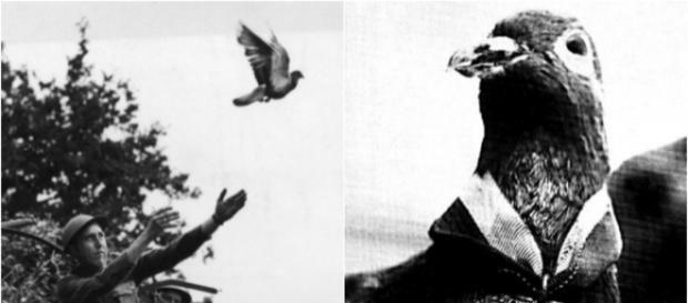 Pombos de guerra como Cher Ami foram muito úteis durante a guerra para enviar mensagens em lugares difíceis de alcançar.