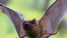 Los murciélagos, un arma natural para combatir las plagas de insectos