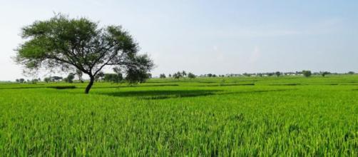 Todo lo que debes saber sobre el cultivo del arroz - Blog de ... - agroptima.com