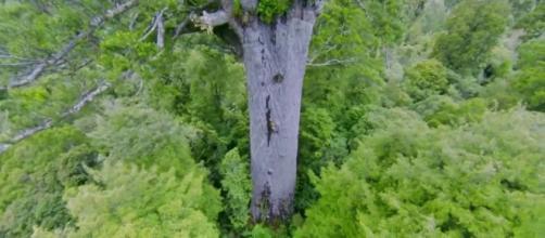 Tāne Mahuta, de Nueva Zelanda, el árbol gigante que reduce el llanto de los visitantes