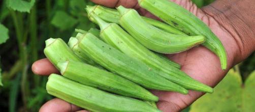 La okra también denominada quimbombó, qumbio, gumbo, bamia o algalia es una vaina de color verde