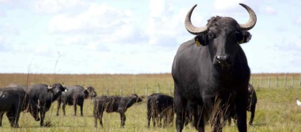 Carne tierna como la vacuna y hasta más sana: por qué el búfalo - com.ar