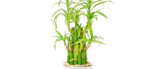 El Bambú, la planta de la suerte