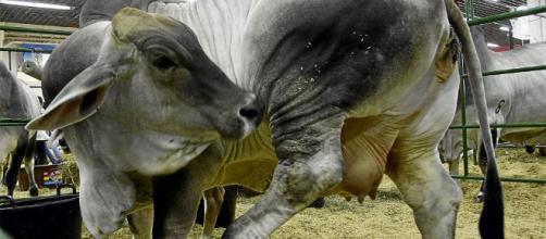 Garrapata en bovinos, factor limitante en su producción - larepublica.co