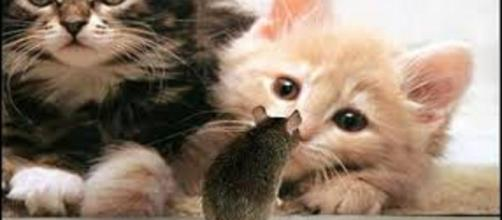 La gastritis parasitaria en gatos se debe a un parásito transmitido por el consumo de los hospedadores intermediarios