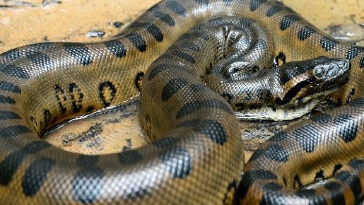La Anaconda… la culebra más grande del mundo
