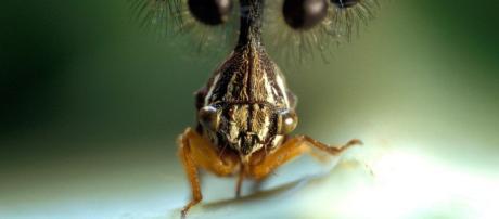 Globular Bocydium brasileño, el insecto marciano | Insectos ... - pinterest.es