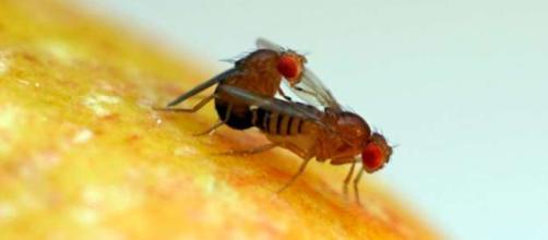 Las moscas también sienten placer durante el sexo