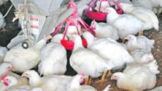 Pollos grandes: genética, alimentación, sanidad… no es por el uso de hormonas