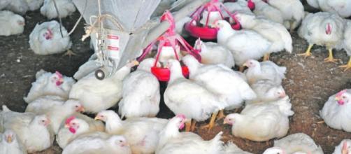Dejemos atrás la falsa creencia sobre el uso de hormonas en la cría de pollos
