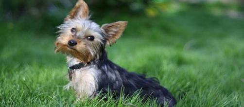 La enfermedad puede afecta a perros en crecimiento y principalmente de razas miniatura