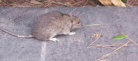 Bologna, topo cade sulla testa della maestra