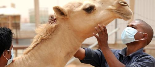 Saudi Arabia To Test Camels And Livestock For MERS : Shots ... - npr.org