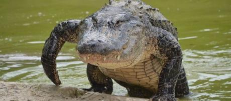 Florida woman body parts founf in alligator - Image credit - Clément Bardot | Wikimedia