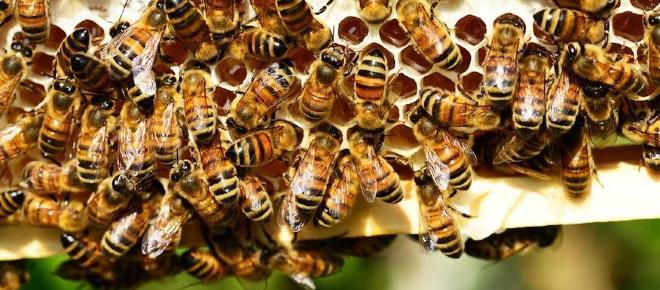Ricerca australiana-francese: 'Le api sono in grado di interpretare il concetto di zero'