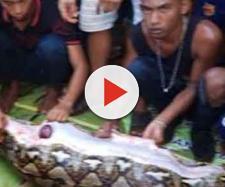 Indonesia una donna completamente inghiottita da un pitone