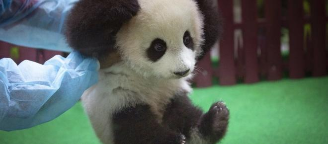 Cina, scoperto DNA di un cugino del panda gigante risalente a oltre 22.000 anni fa