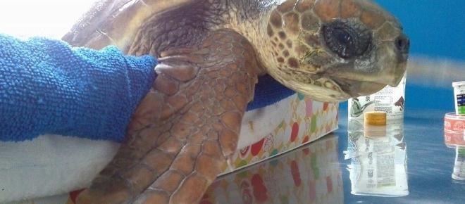 Tornano a nidificare le tartarughe marine sulla spiaggia calabrese di Galati