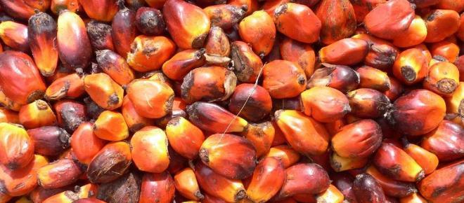 Olio di palma dagli alimenti ai carburanti: monta la polemica sull'impatto ambientale