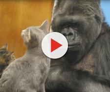 Koko aveva una passione speciale per i gattini