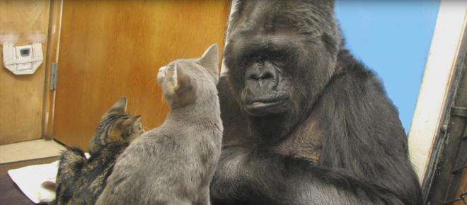 Addio alla gorilla che conosceva la lingua dei segni e amava i gattini