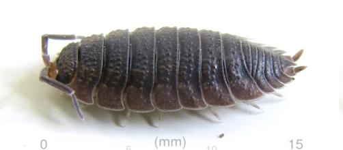 File:Porcellio scaber (AU)-left 01.jpg - Wikimedia Commons - wikimedia.org