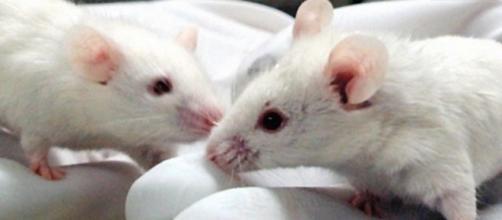 Un topo maschio subisce un'inversione del sesso se manca la sequenza Enh13 nel DNA.