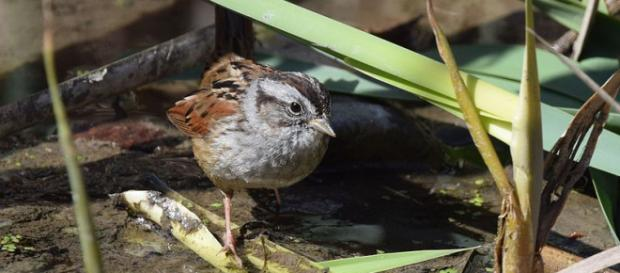 Swamp Sparrow in Carondelet Park, St. Louis, Missouri (Image courtesy – Andy Reago and Chrissy McClarren, Wikimedia Commons)