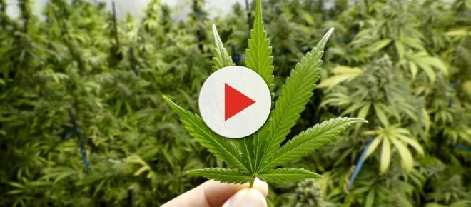 Il CSS: 'Vietare la cannabis light', ma il Ministro della Salute non ci sta