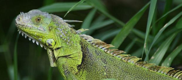 Iguana seen in Fern Forest, Florida (Image courtesy – Korall, Wikimedia Commons)