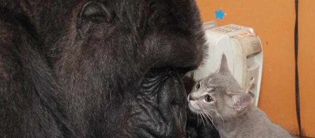 Koko tenía capacidad de tener empatía con otras especies. Public Domain.