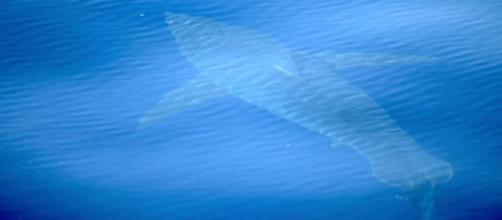 Historique, un requin blanc aperçu près de Majorque - lavanguardia.com
