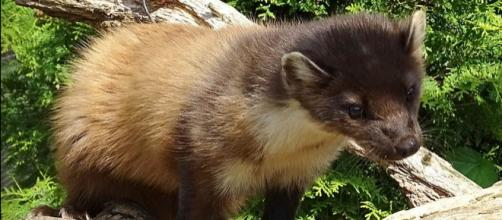 Pine marten at the British Wildlife Center (Image courtesy – SurreyJohn, Wikimedia Commons)