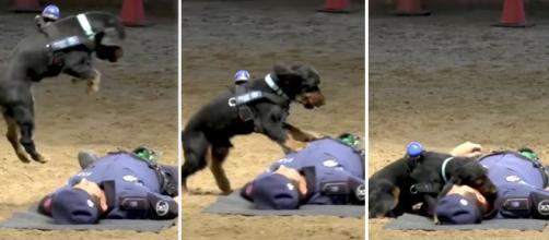 """Vídeo divulgado por policiais espanhóis mostra momento em que cão da corporação """"realiza"""" manobra de RCP"""