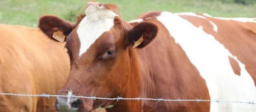 Paratuberculosis bovina o enfermedad de Jhone