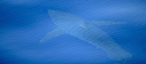 Lo squalo bianco lungo 5 metri avvistato e fotografato alle Baleari da un team di scienziati.