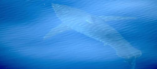 La Expedición Científica Alnitak 2018 filma un tiburón blanco de 5 metros en las Baleares