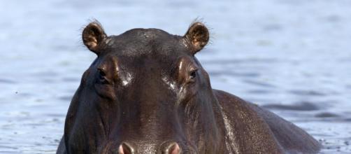 Qué ha sido de los hipopótamos de Pablo Escobar? - lavanguardia.com