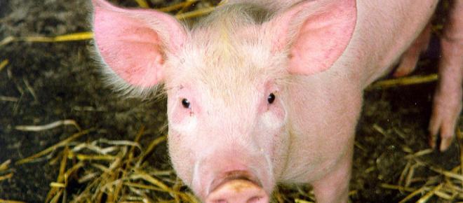 Los científicos se vuelven optimistas en los trasplantes de cerdo a humano