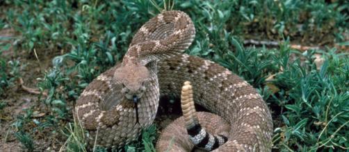 Il serpente a sonagli è tra i rettili più pericolosi al mondo