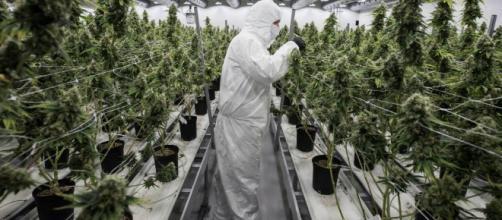 La marihuana a punto de ser legalizada en Canadá